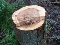 杉の切り口