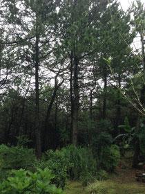 今はまだ静かで穏やかな松林