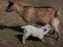 お母さんヤギの乳を飲む、子ヤギ