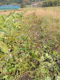 葉と茎がまだ付いたままの状態。