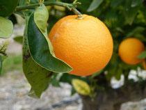 Orangenhaine lassen uns sicher sein, dass wir im Süden sind - das Wetter nicht!