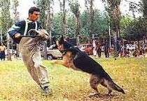 телохранитель; курс послушания; коррекция поведения ; общий курс дрессировки; защитно-караульная служба.