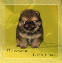 Pomeranian male 1