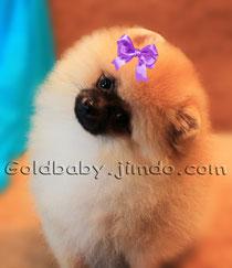 كلب صغير طويل الشعر للبيع