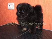 карликовый  шпиц щенок