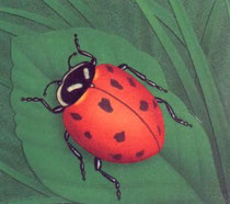 coccinelle d'europe