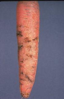 ver de la carotte