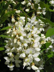 Fleurs d'accacia