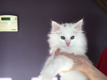 chaton blanc né chez nous