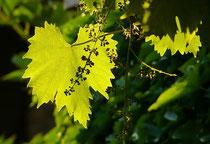 Rankpflanzen, Efeu, Wein etc. gesucht