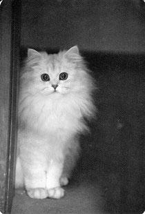 Perserkatze, 70er Jahre, Foto: Birgitta