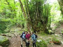 森の主、桂の巨木
