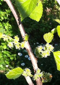 酵素材料 桑の花&新芽の桑の葉