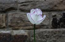 177 Weiße Tulpe/White tulip