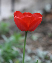167 Rote Tulpe/Red tulip