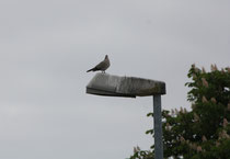 190 Möwe auf einer Lampe/Gull on a light bulb