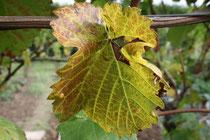 34 Weinblatt/Vine leaf