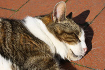 16 Schlafender Kater/Sleeping cat