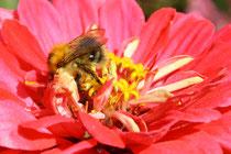 13 Biene auf einer Blume/Bee on a flower