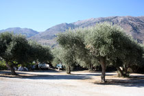 175 Olivenbäume/Olive trees