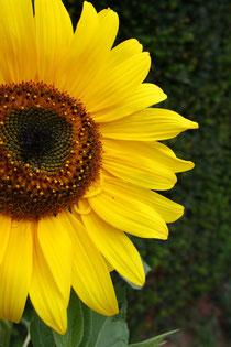 12 Sonnenblume/Sunflower