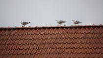 181 Seemöwen auf einem Dach/Seagulls on a roof