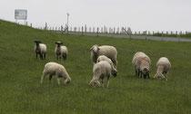 29 Schafe grasen/Sheeps browse