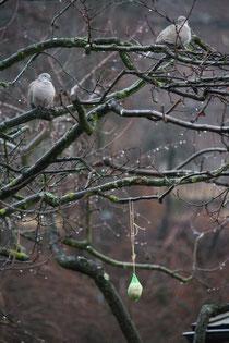 19 Tauben im Schnee/Pigeons in the snow