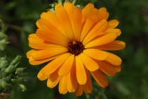 116 Ringelblume/Marigold