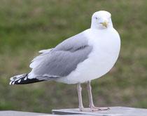 176 Seemöwe/Seagull