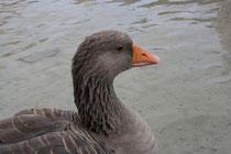17 Gans/Goose
