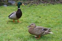 13 Enten im Garten/Ducks in a garden