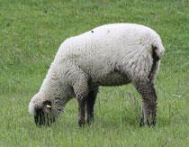 18 Ein Schaf grast/A sheep browses