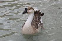 15 Gans/Goose