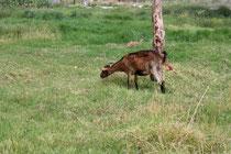 42 Ziege/Goat