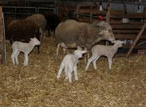 50 Schafe+Lämmer/Sheeps+Lambs