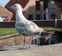 177 Möwe/Gull
