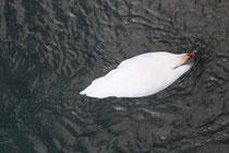 29 Schwan/Swan