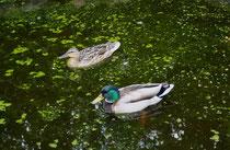 138 Enten im Teich/Ducks in a pond