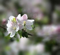 5 Kirschblüten+Weichzeichner/Cherry blossom+Diffuser scrim