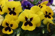 84 Gelbe Stiefmütterchen/Yellow pansies