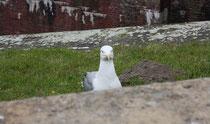 173 Seemöwe/Seagull