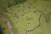 141 Kühe/Cows