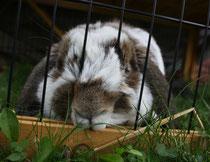 47 Zwergkaninchen/Dwarf rabbit