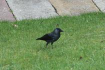 25 Eine Krähe/A crow