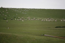 30 Schafe grasen/Sheeps browse