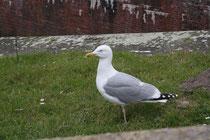 174 Seemöwe/Seagull