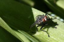25 Eine Fliege/A Fly