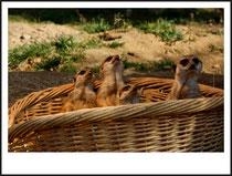 6 Erdmännchen/Meerkat