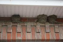 77 Schwalbennester/Martin nests